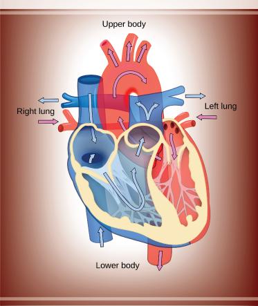 heart-20
